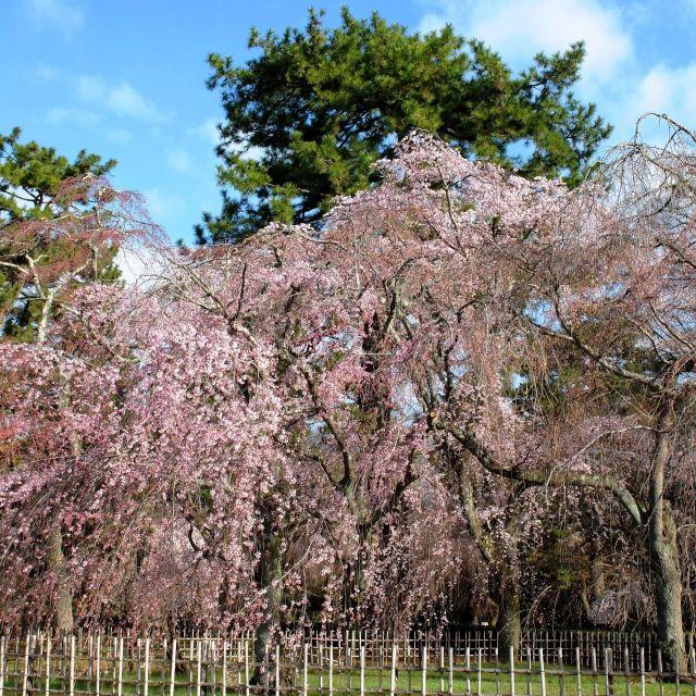 【京都さくらめぐり2018】京都御苑の枝垂れ桜が一足先に見頃①