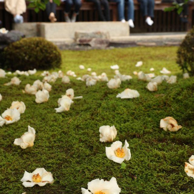 《京都》沙羅双樹の花を愛でる会 妙心寺塔頭、東林院で
