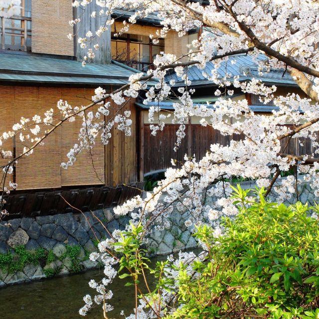 【京都さくらめぐり2018】ソメイヨシノも見頃突入  祇園白川の桜④