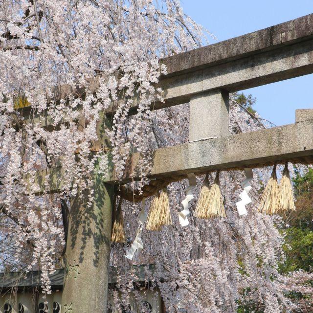【京都さくらめぐり2018】赤穂義士、大石内蔵助ゆかりの大石桜③