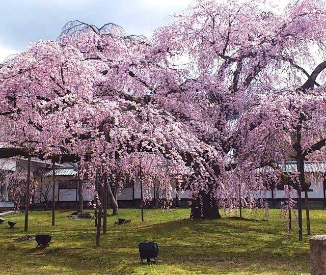 《京都》〝桜の名所〟醍醐寺にIKEAとのコラボカフェがオープン