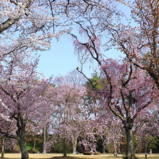【京都さくらめぐり2018】二条城をはじめ京都の桜が満開⑤