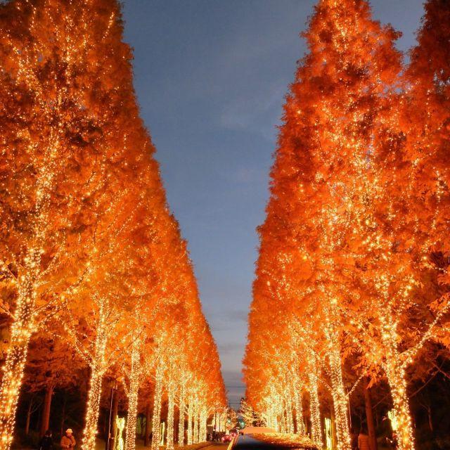 《京都》ローム本社でメタセコイア並木などに80万個のLEDイルミネーション