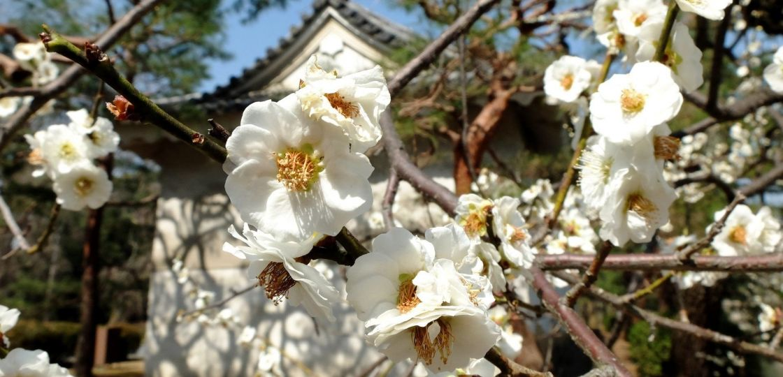《京都》世界遺産「二条城」の梅が見頃