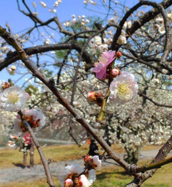 梅 の 標本 木 東京