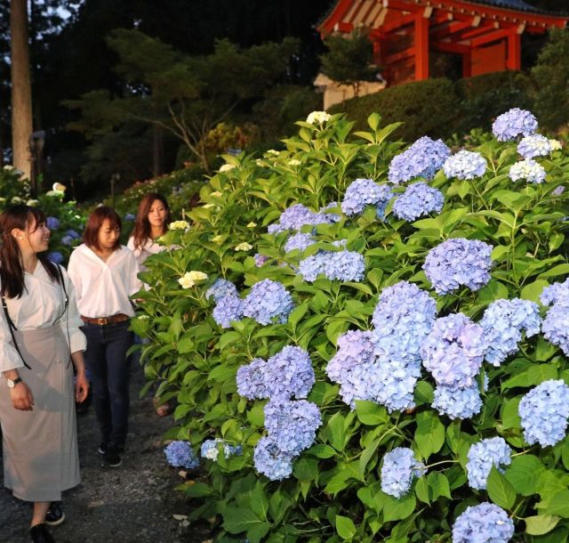《京都》宵闇に浮かぶアジサイ 三室戸寺でライトアップ
